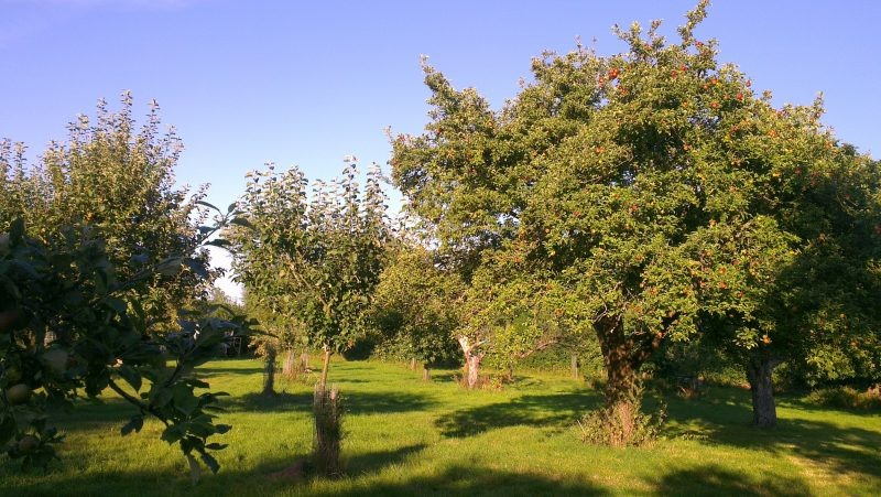 The old orchard planted in 1912