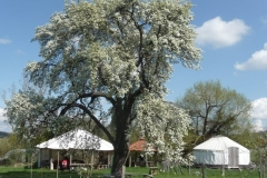 Yellow Huffcap Perry pear tree in blossom with our orchard skills centre in the background